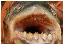 Il pesce mangia testicoli