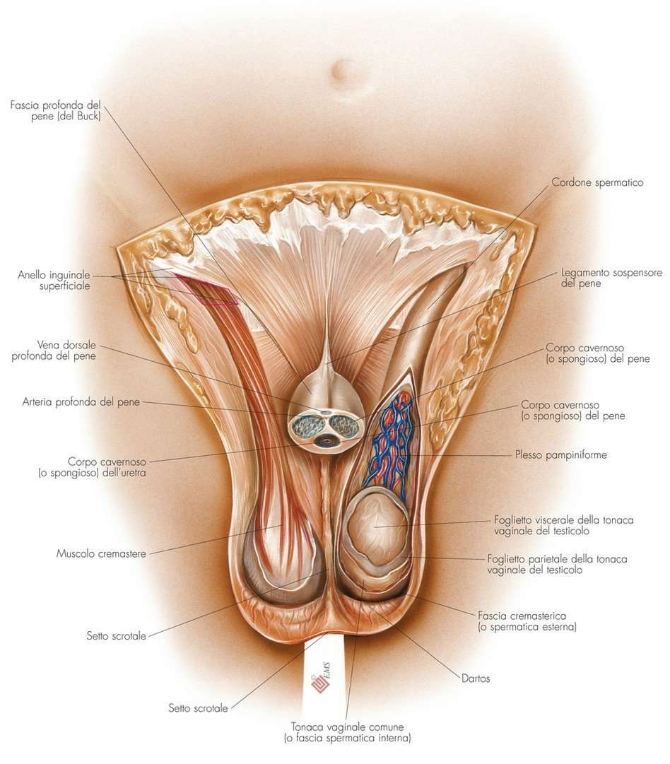 organi genitali esterni